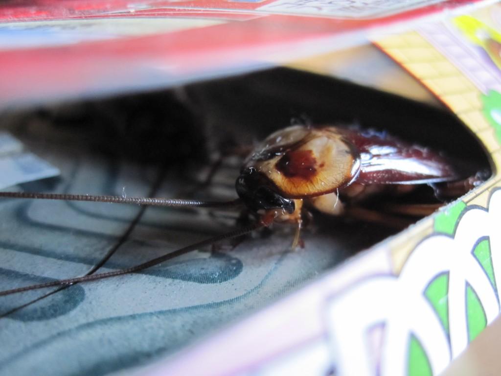 ゴキブリホイホイに捕獲されたワモンゴキブリ