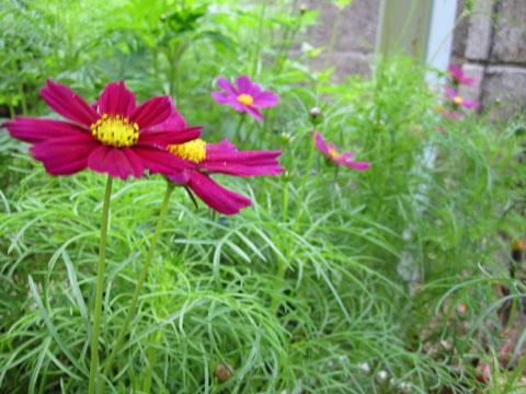 花が咲いたコスモス