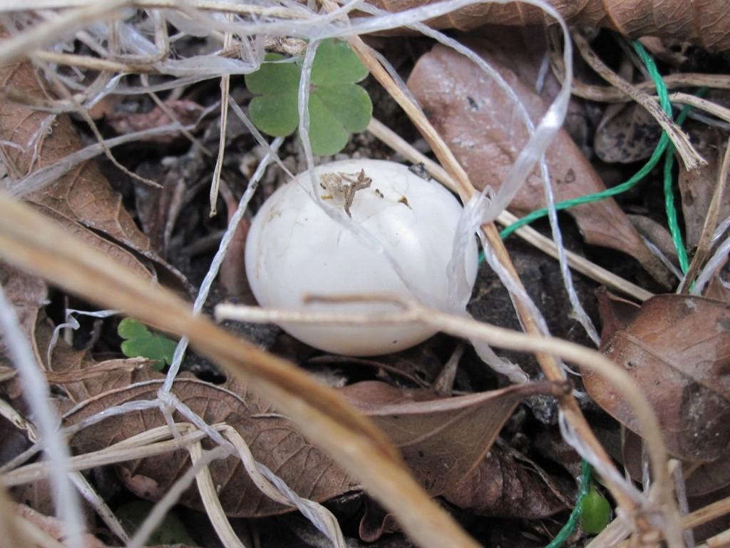 地面に落ちた鳩の卵