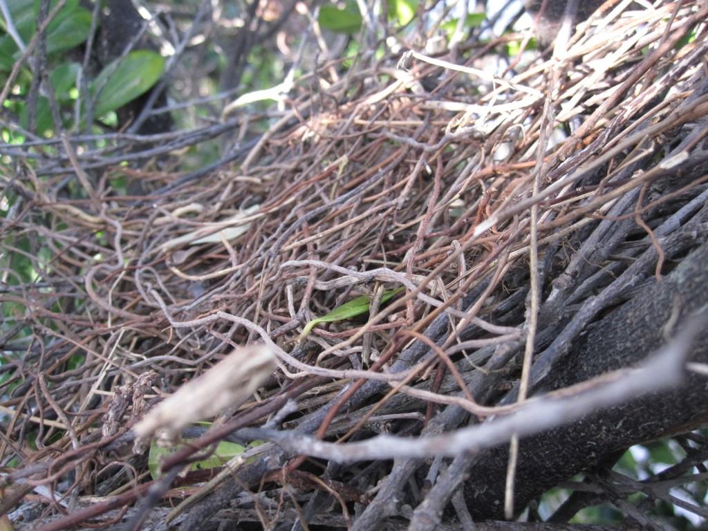 樹上に作られた鳩の巣