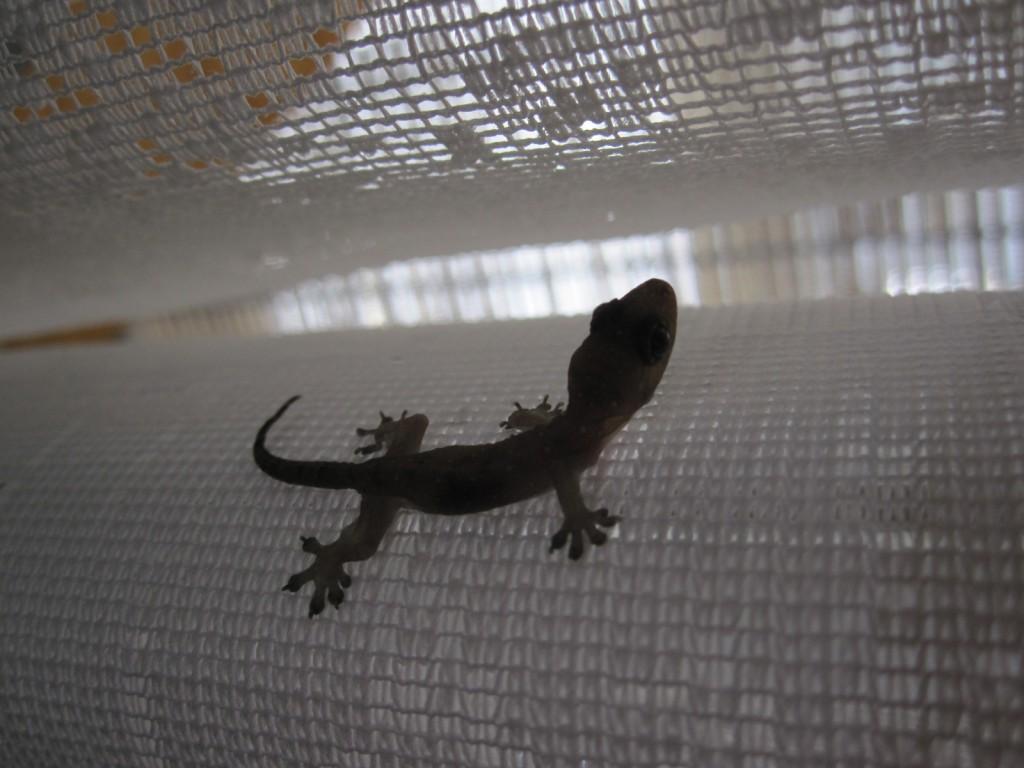 カーテンで静止するヤモリ