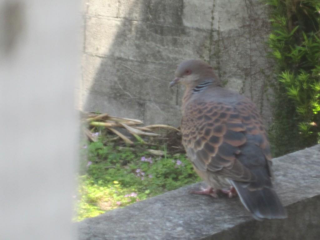 人家の塀でつがいで休む鳩