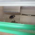 ゴキブリの飼い方|不快害虫をペットとして飼育!?捕獲したワモンゴキブリを虫カゴ巣箱にお引越し!
