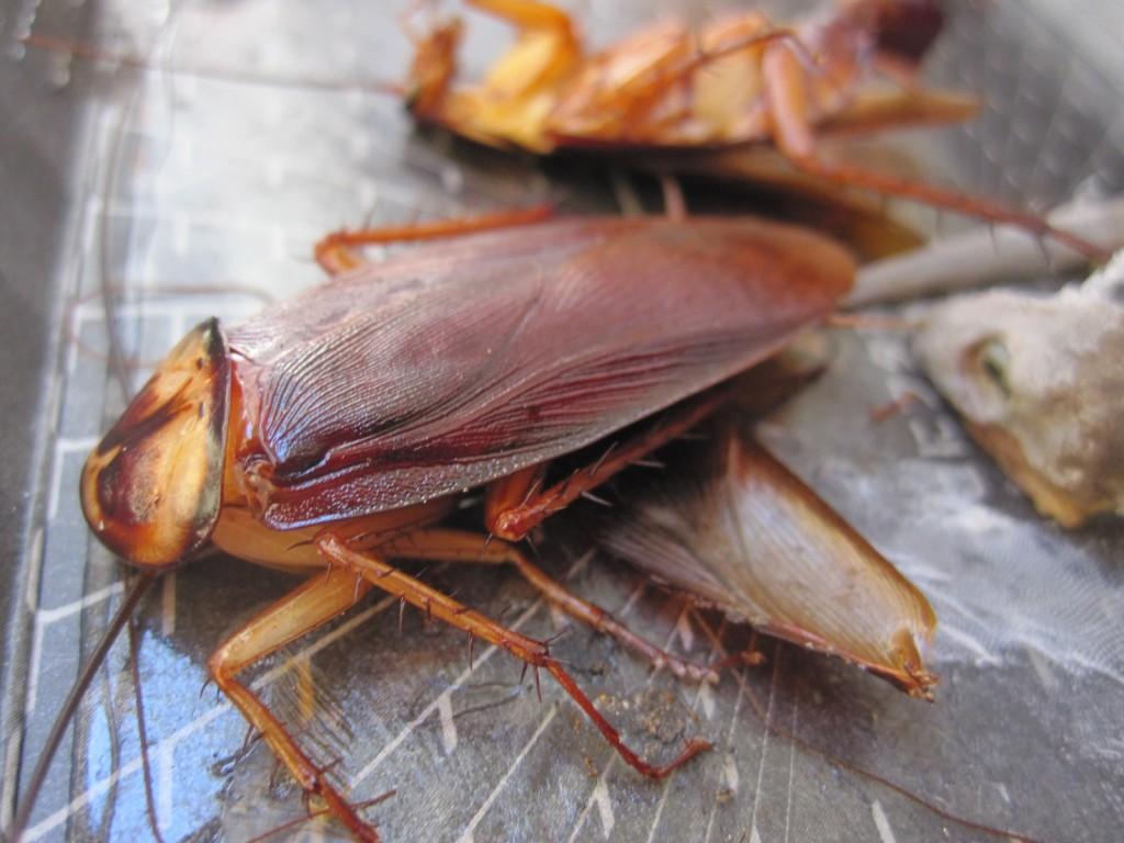 罠に嵌ったワモンゴキブリ