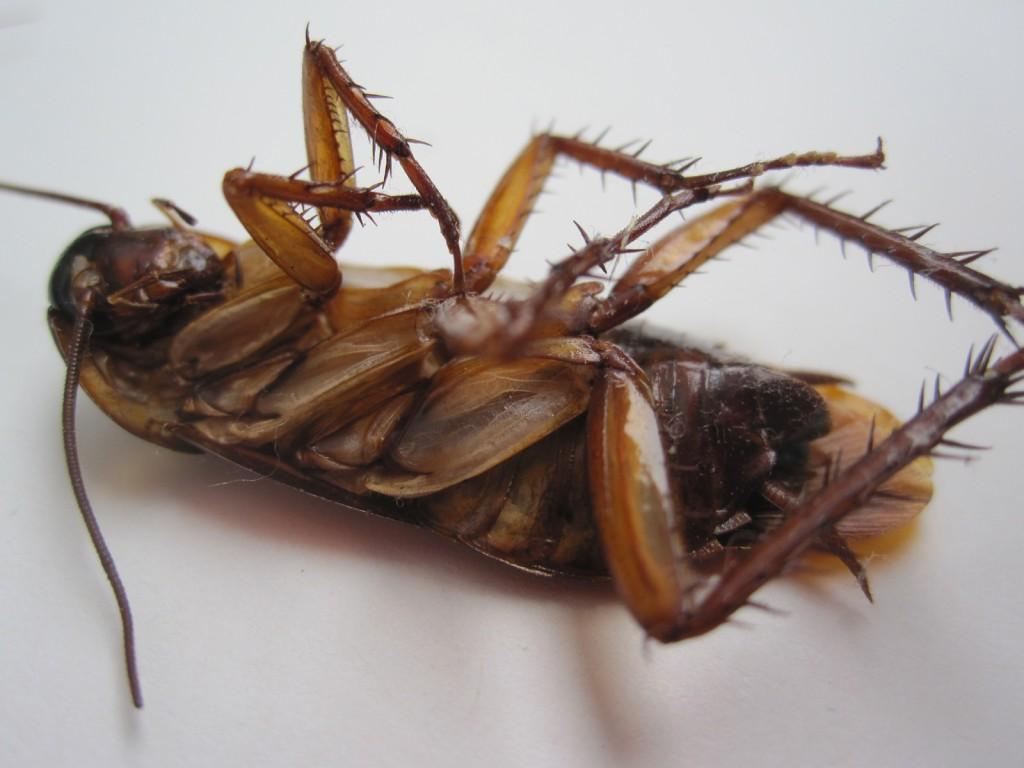 ひっくり返り死後硬直したワモンゴキブリ