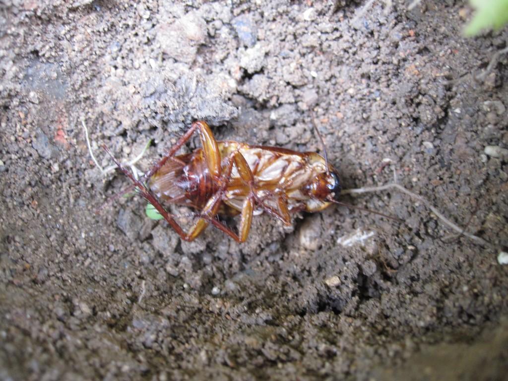 土の中のゴキブリ