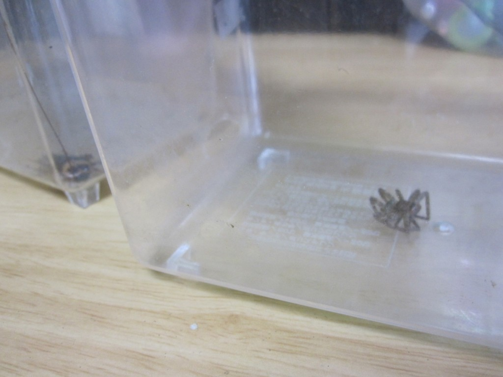 ワモンゴキブリと対面する様子