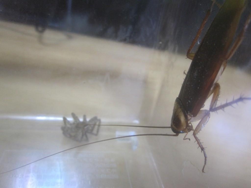 アシダカグモとワモンゴキブリ