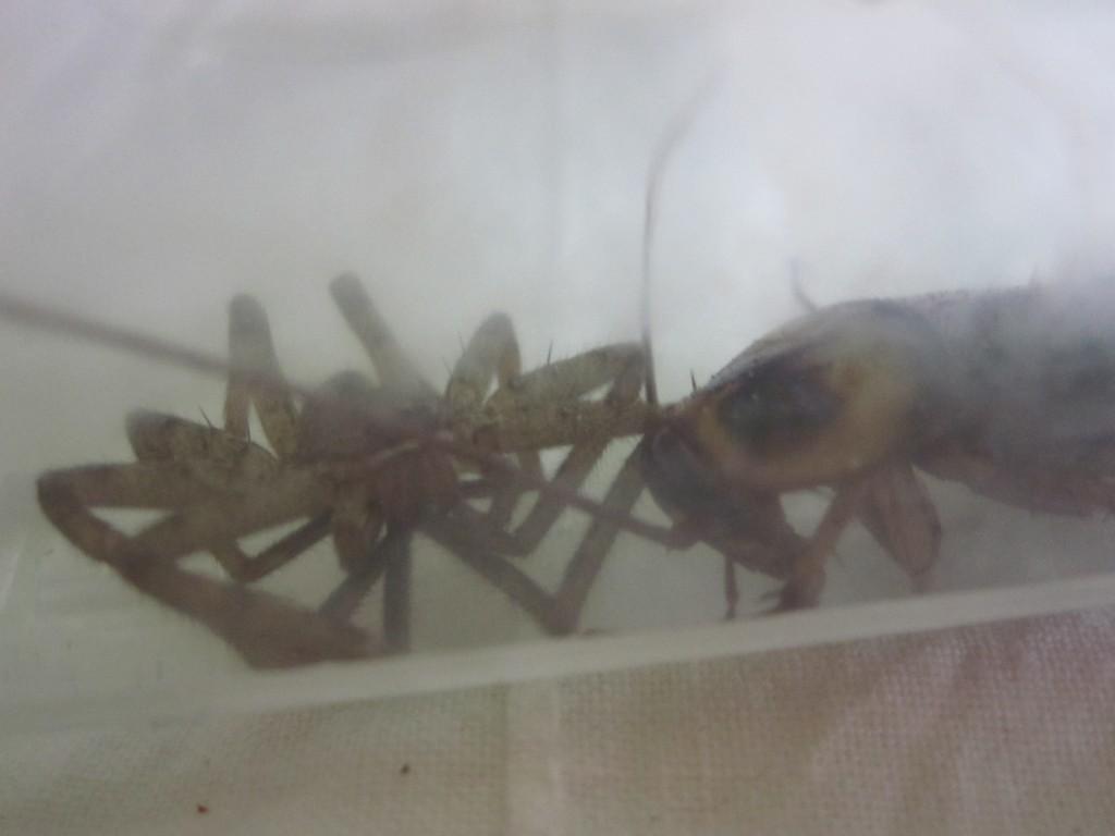 接近するアシダカグモとワモンゴキブリ