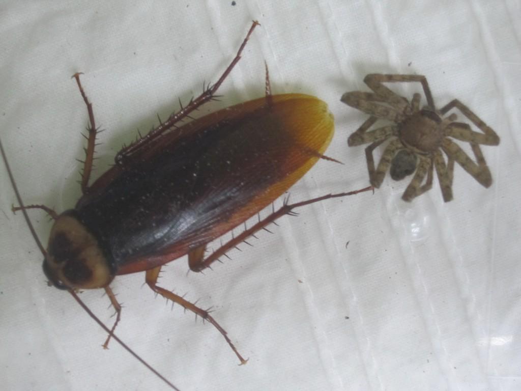 ワモンゴキブリとアシダカグモ