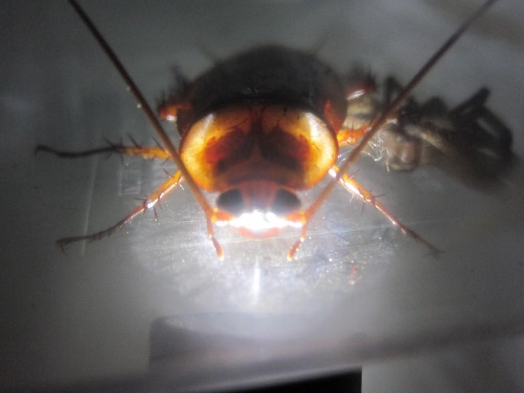 暗闇に浮かび上がるワモンゴキブリ