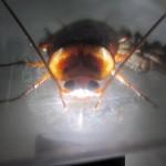 空腹で飢餓状態のワモンゴキブリが天敵のアシダカグモを食べる猟奇事件が発生(´゚д゚`)