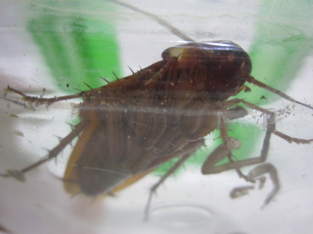 腹いっぱいで夢見心地のワモンゴキブリ