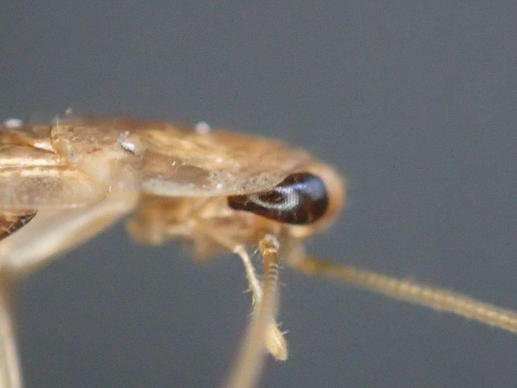 室内害虫(外来種)のチャバネゴキブリ[Blattella germanica]