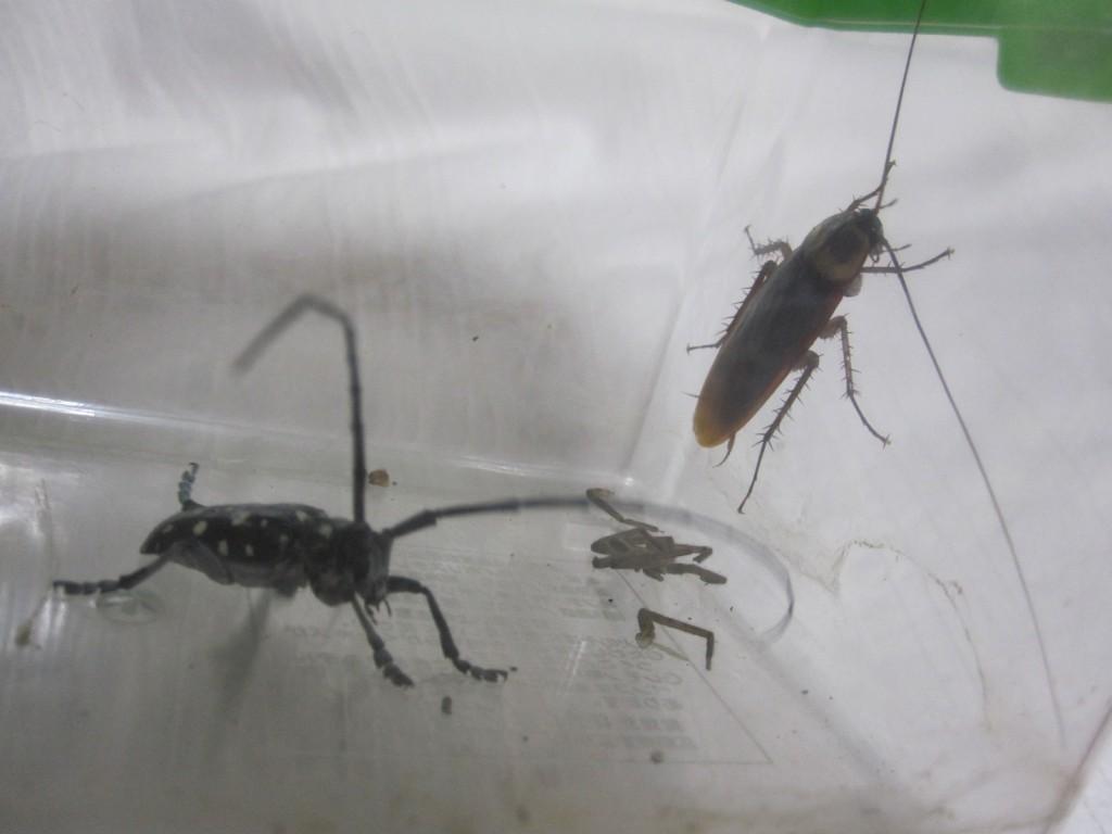 虫カゴの中で歩き回るゴマダラカミキリ