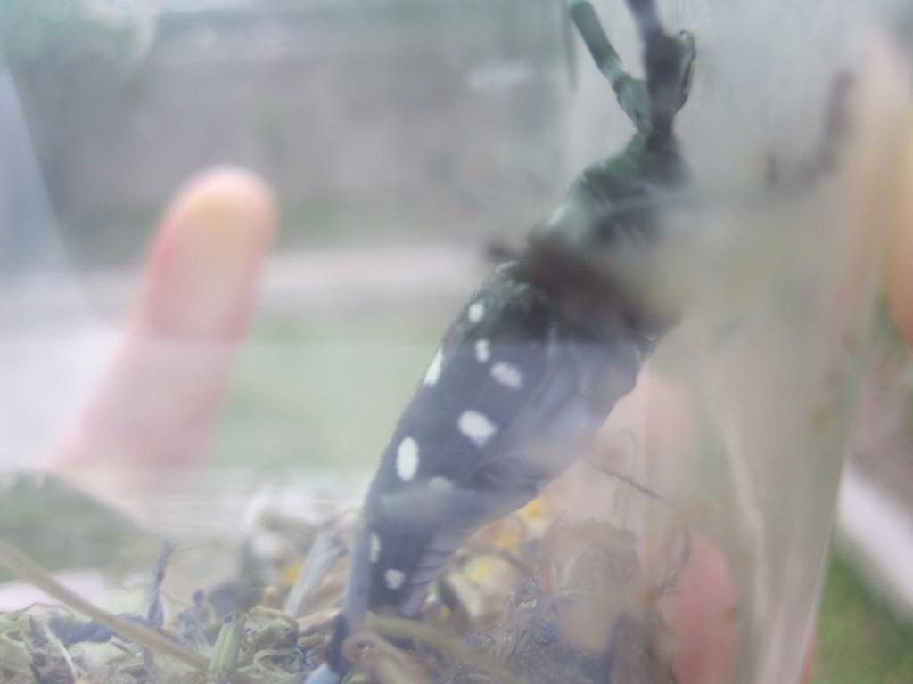 昆虫飼育容器に閉じ込められたゴマダラカミキリ