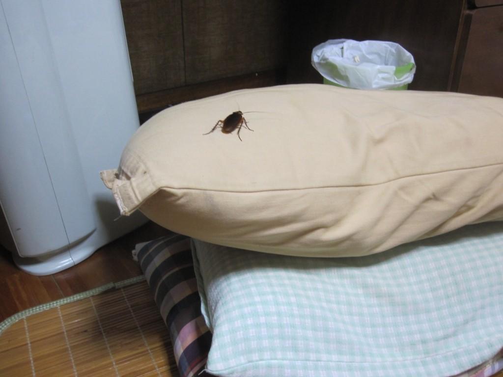 抱きまくらの上を歩くワモンゴキブリ