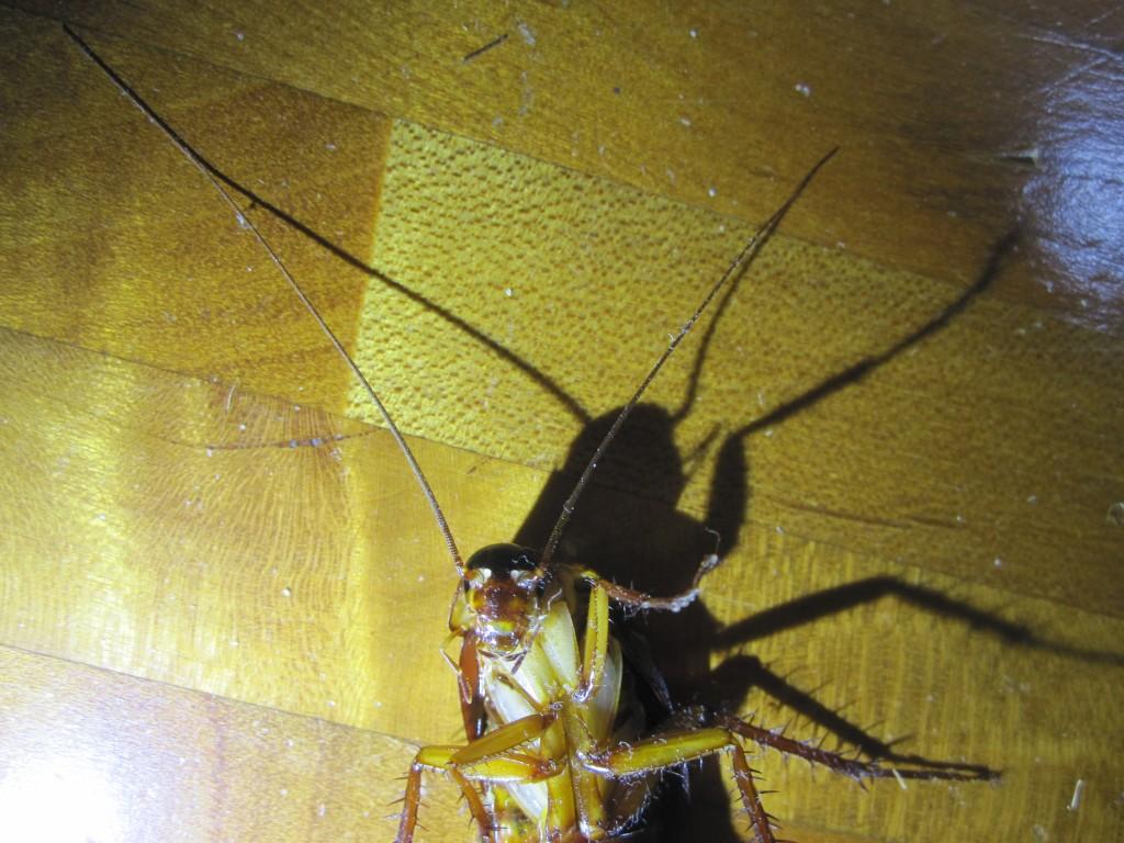 床に投影されるワモンゴキブリの不気味な影