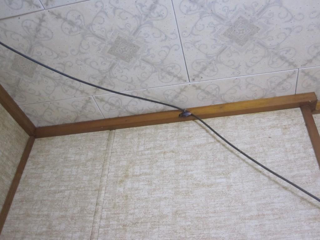 部屋の天井を歩くワモンゴキブリ