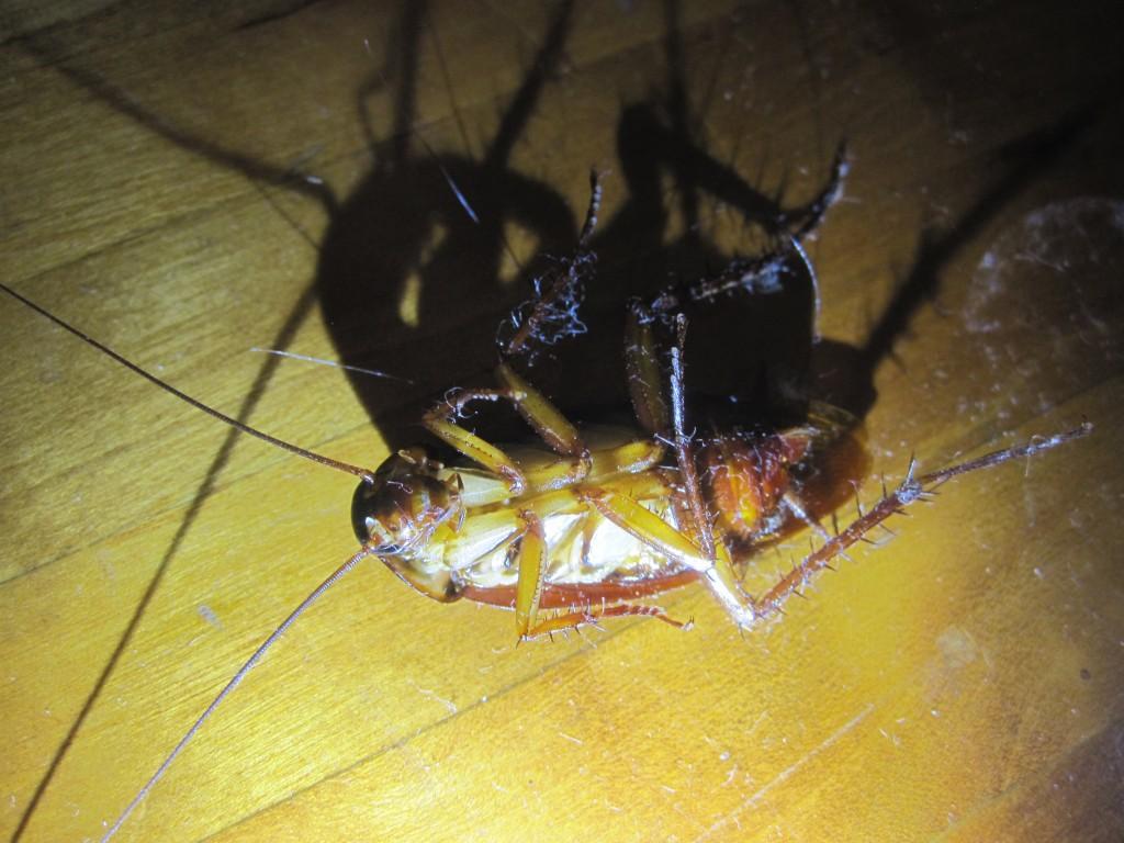 ハエ叩きの一撃で失神したワモンゴキブリ