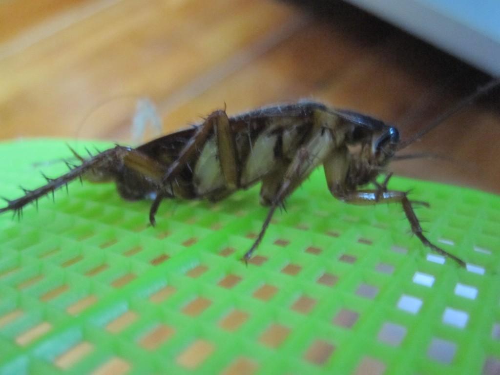復活したワモンゴキブリ