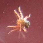庭の小さな赤いダニ[タカラダニ]の別称はレッドダイヤモンド