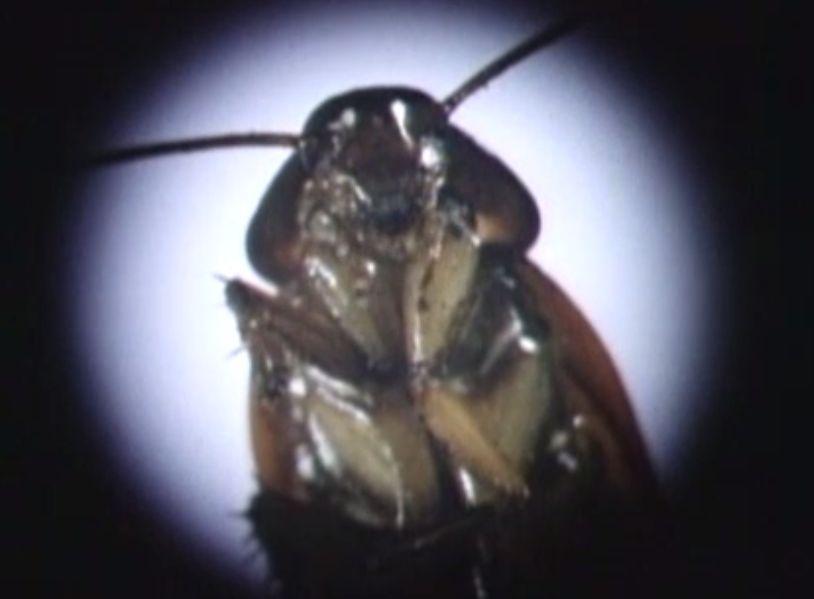 顕微鏡でゴキブリを調べる様子