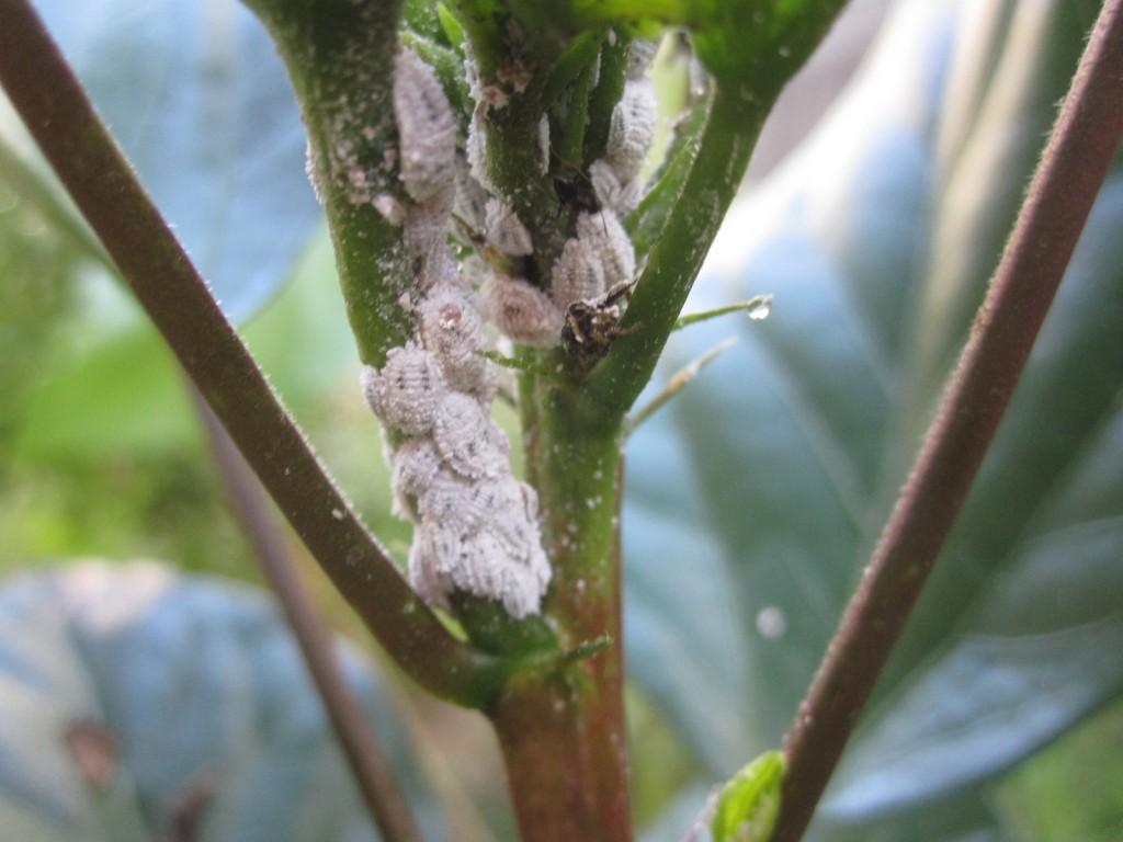 白い粉状の殻をまとったミカンコナカイガラムシ