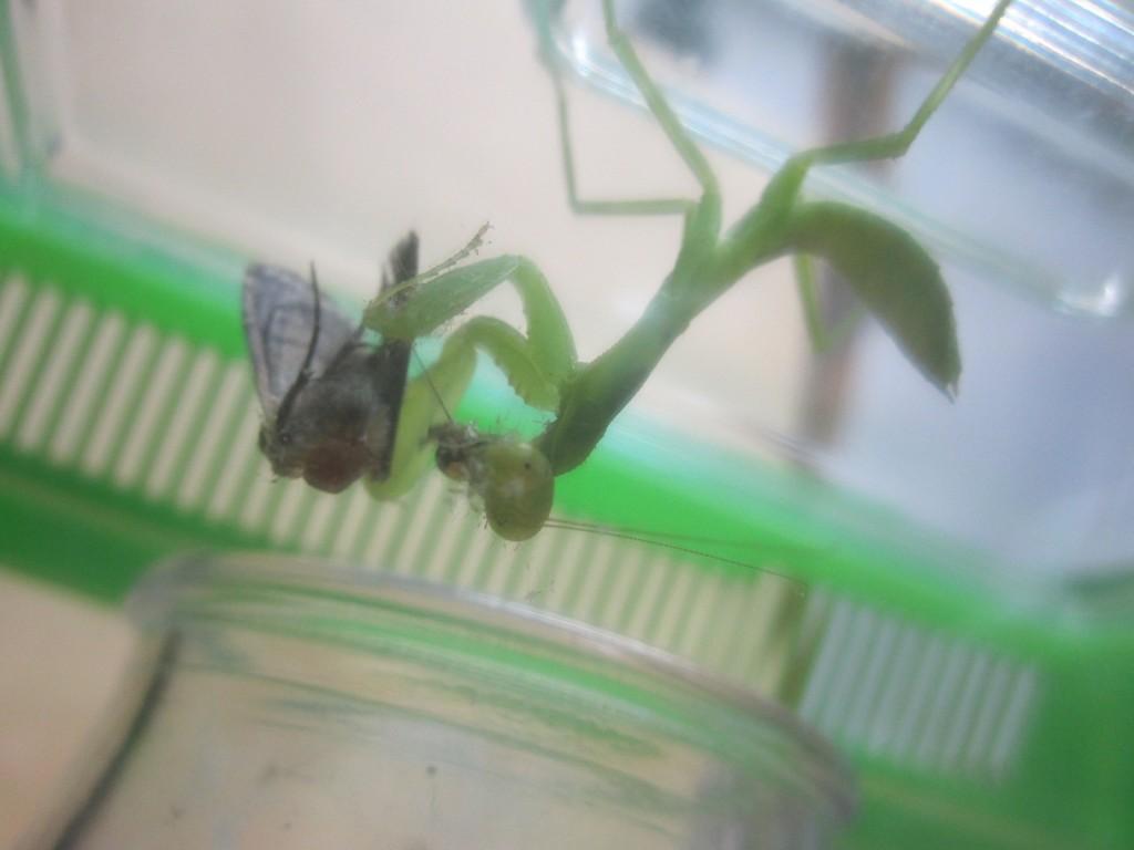 夢中になって蛾を食べるカマキリ