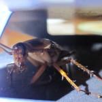 世紀の対決カマキリ対ゴキブリがついに実現!?昆虫界のミラクルドリームマッチ!がチケット売り切れ!