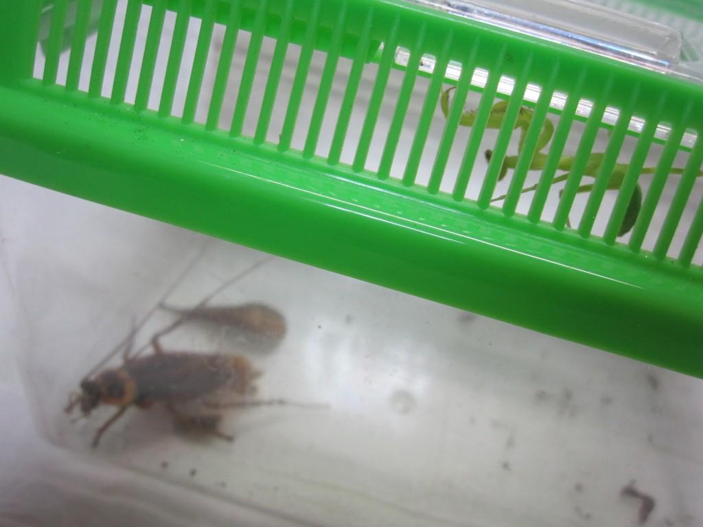 虫カゴの屋根で怯えるカマキリ