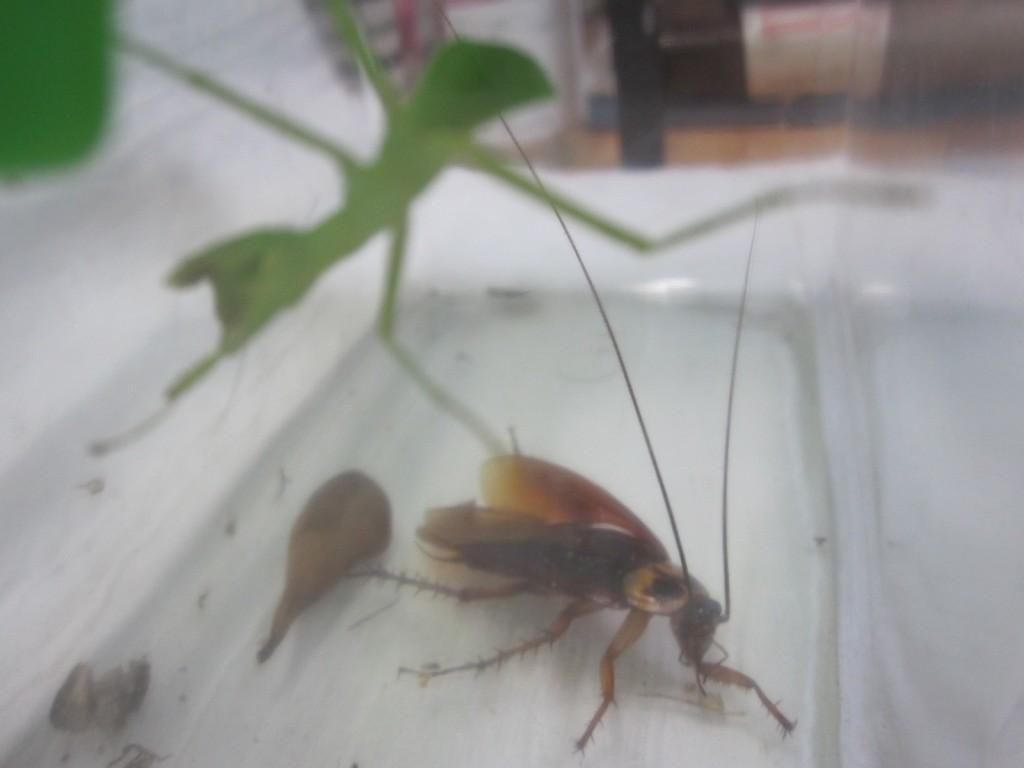 羽を広げて脱出を試みるワモンゴキブリ