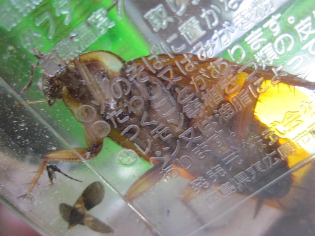 下からのアングルのワモンゴキブリ