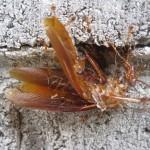 ゴキブリを食べるアリは、自然界一のお掃除屋さん!?