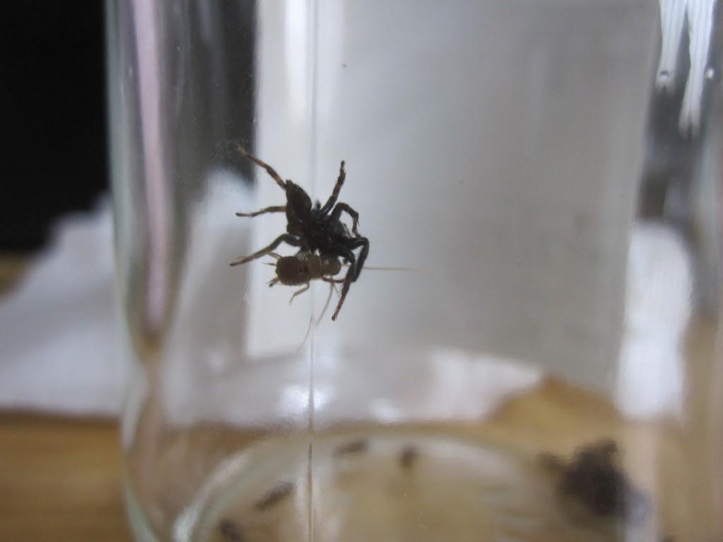ゴキブリの赤ちゃんを捕獲するハエトリグモ