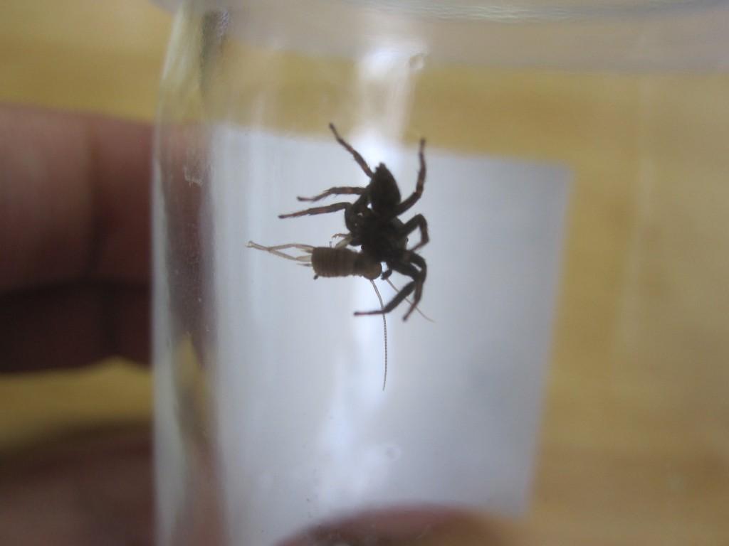 ゴキブリの赤ちゃんを食べるハエトリグモ
