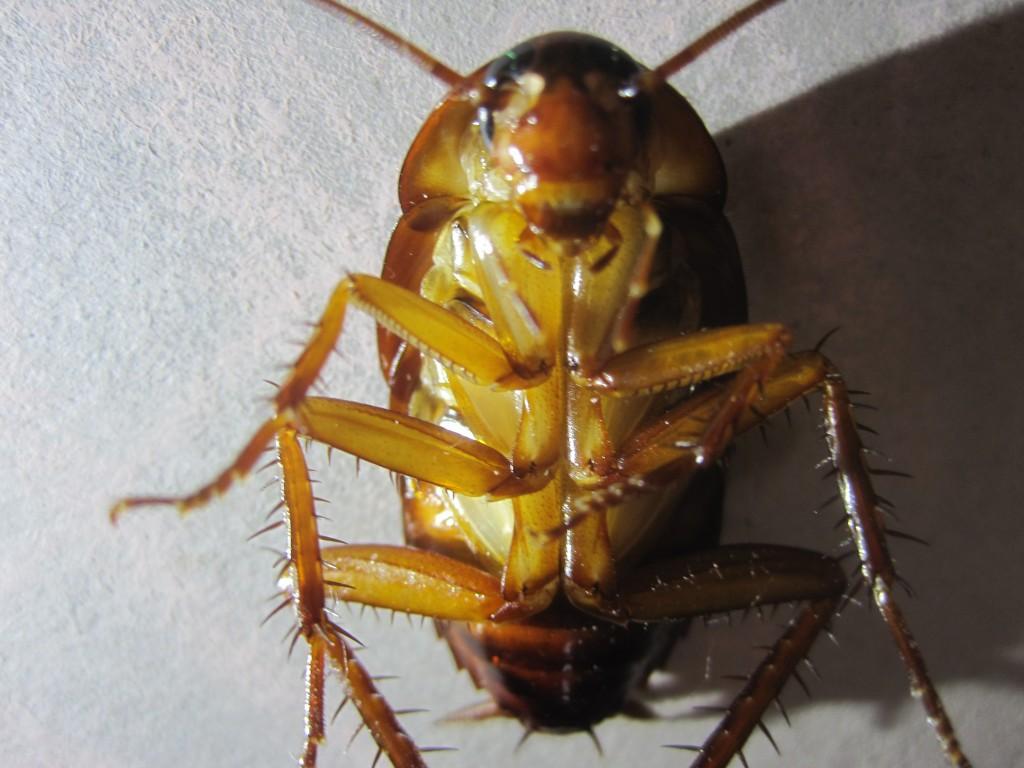 ハエ叩きで息の根を止められたワモンゴキブリ