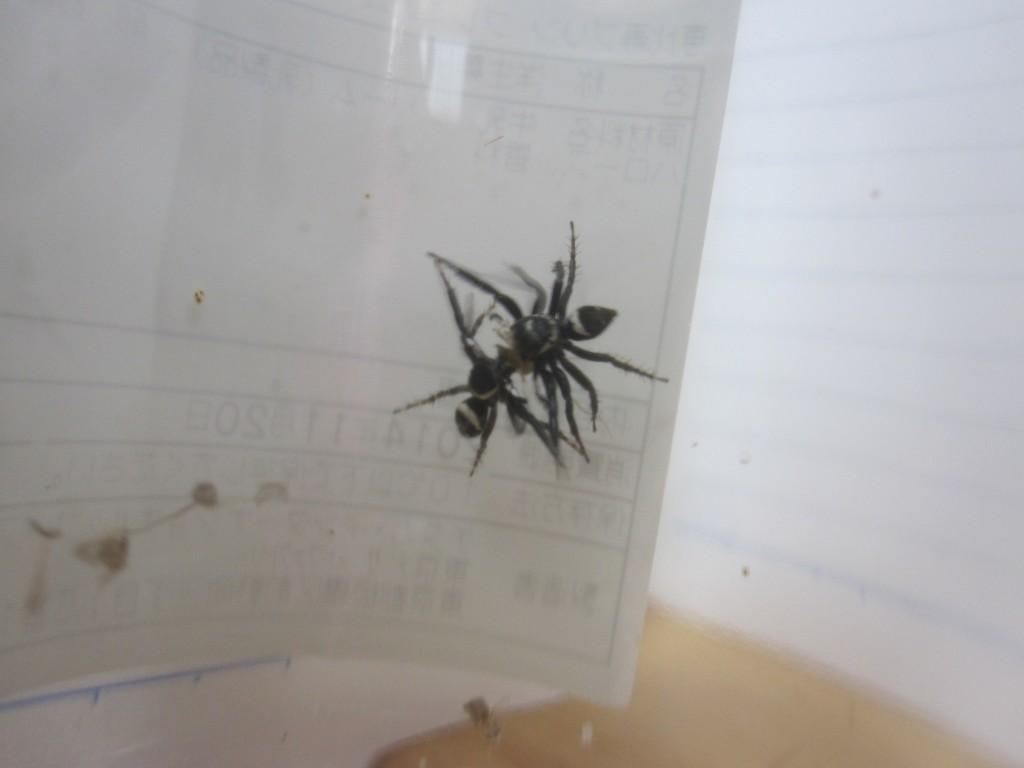 獲物のゴキブリを奪い合うハエトリグモ