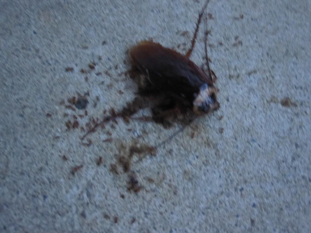 ワモンゴキブリの死骸に群がる蟻の大群