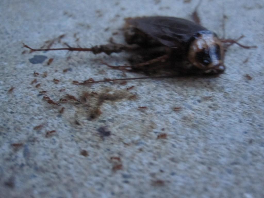 何百匹のアリがゴキブリの死骸を解体する様子