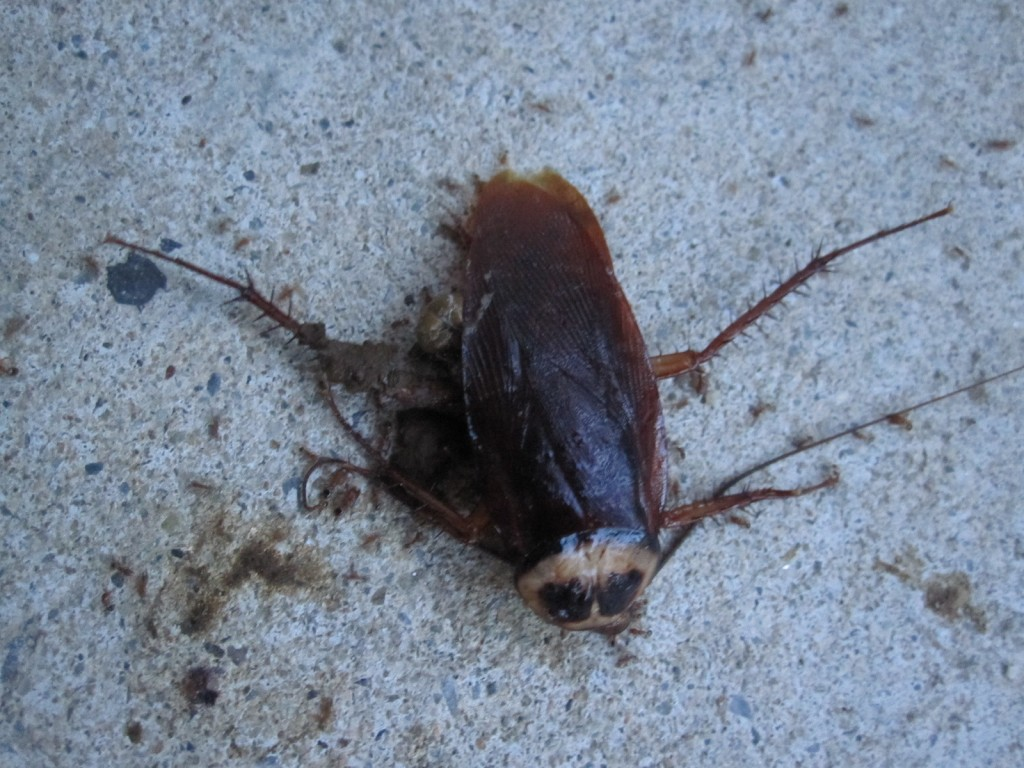 踏み潰されて死んだワモンゴキブリの成虫