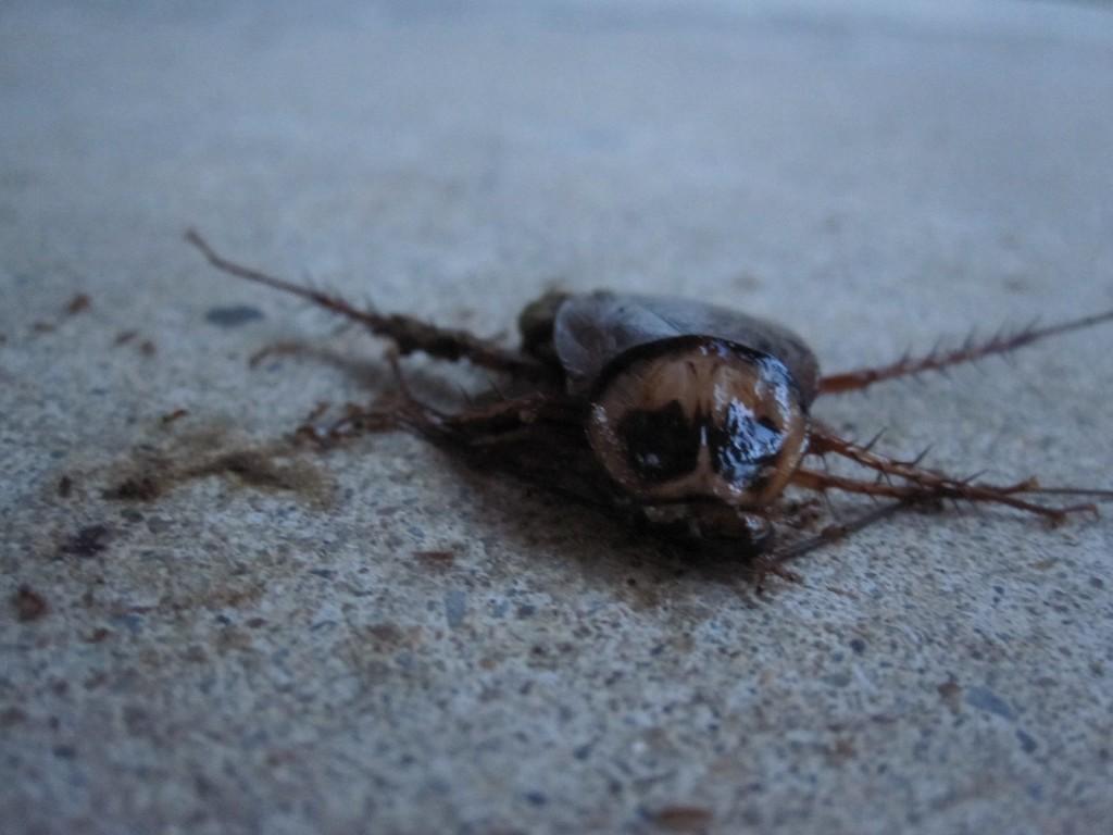 昆虫の蟻によって分解され食べられるゴキブリ