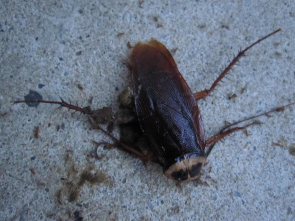 ゆっくりと巣に持ち帰られるゴキブリの死体
