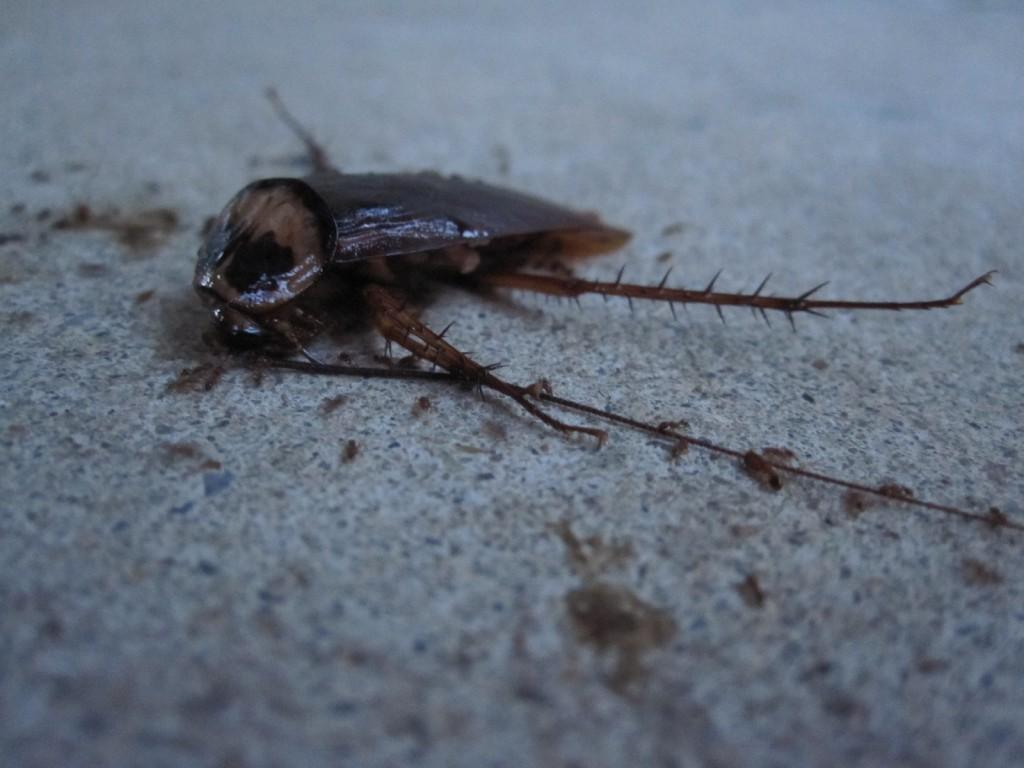 自然の掃除屋アリに片付けられるゴキブリ