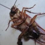 ゴキブリの死骸・死体を解体して掃除するアリ(蟻)は害虫ではなく益虫