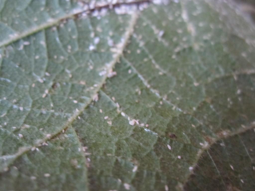 葉の裏のおびただしい数のカイガラムシ