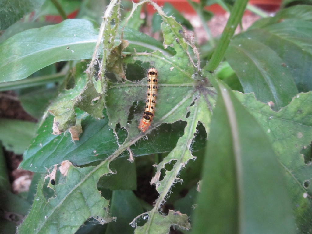 歯を食い荒らすタイワンキドクガの幼虫