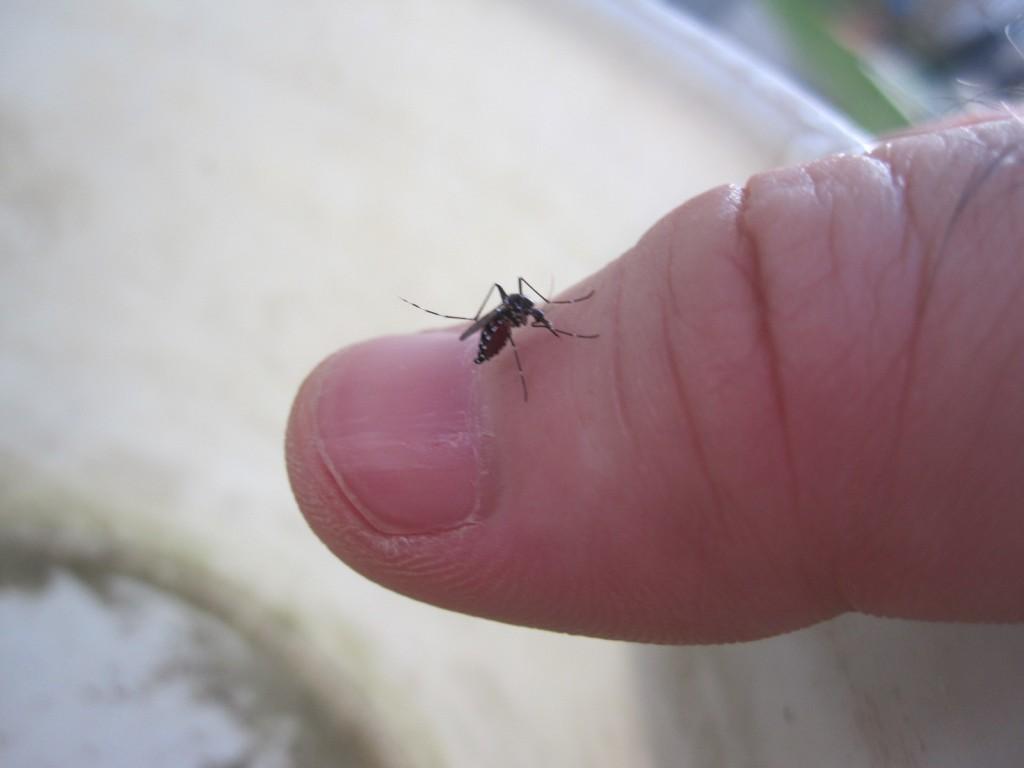 爪の根元・指先から血を吸う蚊