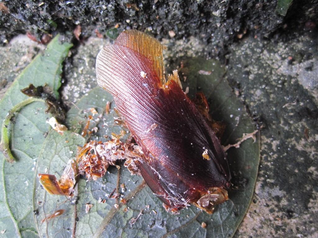 落ち葉に紛れて死んでいるゴキブリの死体