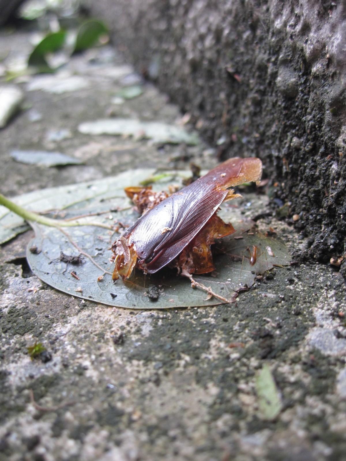 蟻が解体を進めるワモンゴキブリの死骸